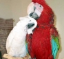 Tame Parrots For Re homing ( macaw cockatoos,  and African Gray )