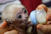 home raised baby face capuchin monkey for adoption