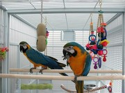 Last Pair of Macaws to Go ( Fairly priced)