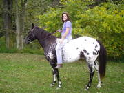 Appaloosa Gelding Horse For Sale