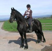 Gorgeous Friesian horse for good home