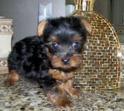 Lovely and cute tea cup yorkie puppies available for lovely home