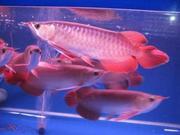 BUY AROWANA FISH NOW!!!!!!!!!VERY CHEAP