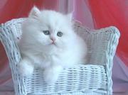 all white persian kitten seeking a home