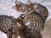 Serval, Savannah, Bobcat and Ocelot Kittens for sale