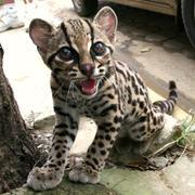 Serval,  Cheetah,  Margay,  Caracal, Lynx,  Safari,  Savannah and Ocelot