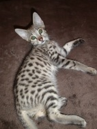 serval, savannah, caracal and ocelot kittens for sale