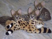 Serval,  Savannah,  Cheetahs and Ocelot kittens