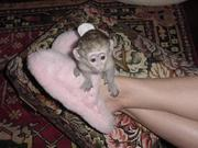 Healthy baby Capuchin Monkeys Available