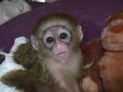 baby cappucinno monkey for adoption.